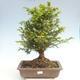 Outdoor bonsai - Taxus bacata - Red yew - 1/3