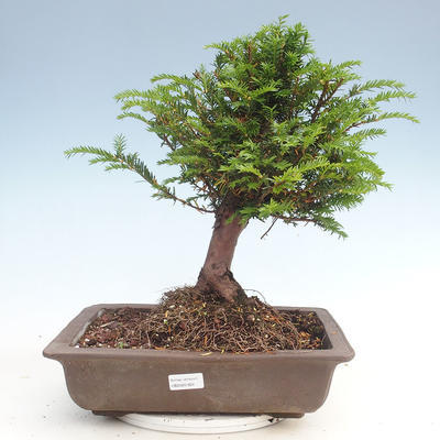 Outdoor bonsai - Taxus bacata - Red yew - 1