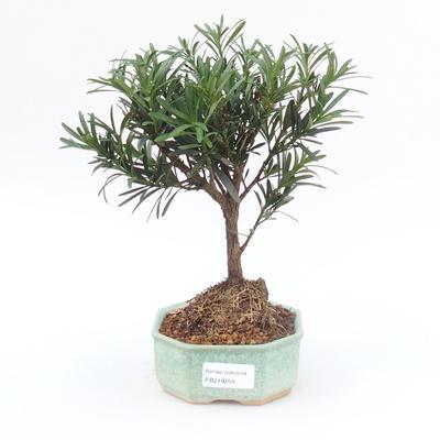 Room Bonsai - Podocarpus - Stone Thousand