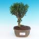 Room bonsai - Buxus harlandii - cork buxus - 1/5