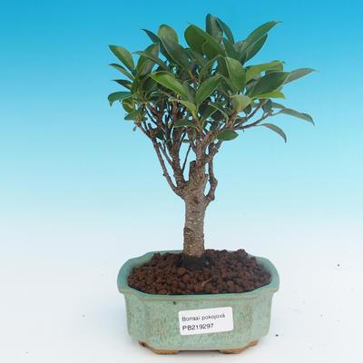 Room bonsai - Ficus retusa - small ficus - 1