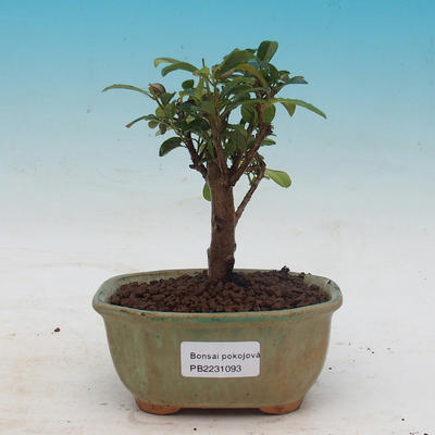 Room bonsai - Australian cherry - Eugenia uniflora - 1