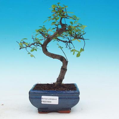 Room bonsai - Ulmus parvifolia - Malolistý elm - 1