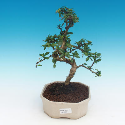 Room bonsai - Carmona macrophylla - Tea fuki - 1
