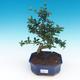 Room bonsai - Carmona macrophylla - Tea fuki - 1/5