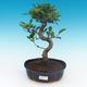Indoor bonsai - Ficus retusa - small ficus - 1/2