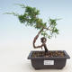Outdoor bonsai - Juniperus chinensis Itoigawa-Chinese juniper - 1/3