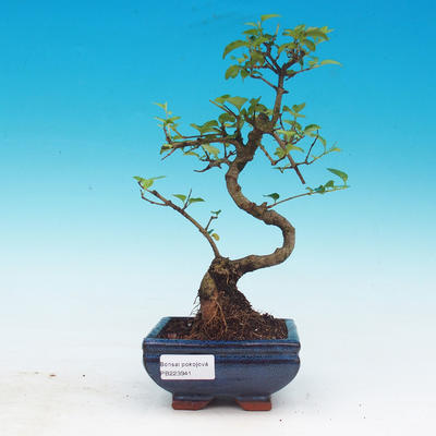 Room bonsai -Ligustrum chinensis - privet - 1