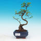 Room bonsai -Ligustrum chinensis - privet - 1/3