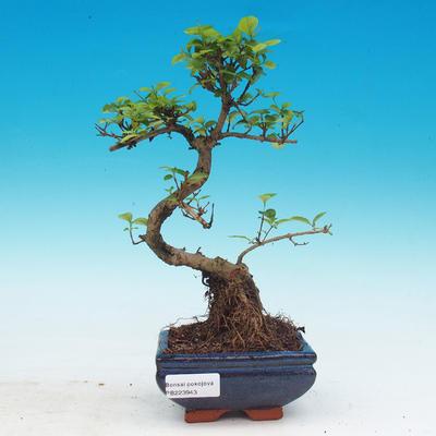 Room bonsai -Ligustrum chinensis - privet - 1