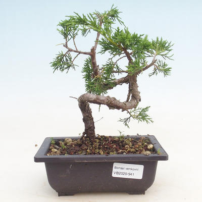 Outdoor bonsai - Juniperus chinensis Itoigawa-Chinese juniper - 1