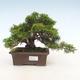 Outdoor bonsai - Juniperus chinensis Itoigawa-Chinese juniper - 1/6