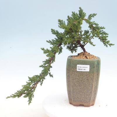 Outdoor bonsai - Juniperus prokumbens NANA - Juniper - 1