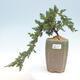 Outdoor bonsai - Juniperus prokumbens NANA - Juniper - 1/2