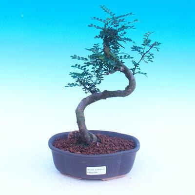 Room bonsai - Zantoxylum piperitum - kava - 1