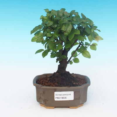 House bonsai - Sagerécie thea - Sagerécie thea - 1