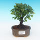 House bonsai - Sagerécie thea - Sagerécie thea - 1/4