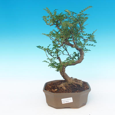 Indoor bonsai - Zantoxylum piperitum - Pepper Tree - 1