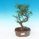 Indoor bonsai - Zantoxylum piperitum - Pepper Tree - 1/4