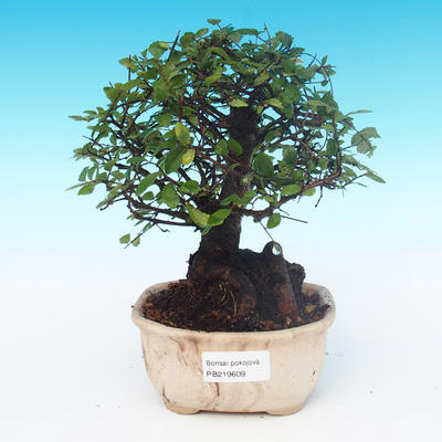 Room bonsai-Ulmus Parvifolia-Malolistý elm