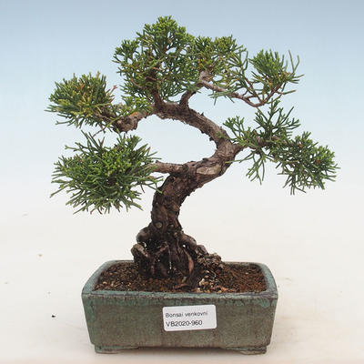 Outdoor bonsai - Juniperus chinensis - Chinese juniper - 1
