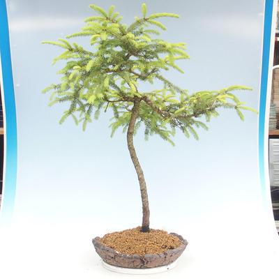 Outdoor bonsai - Picea orientalis - spruce