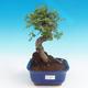 Indoor bonsai - Ulmus parvifolia - Lesser elm - 1/3