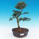 Indoor bonsai - Ilex crenata - Holly - 1/3