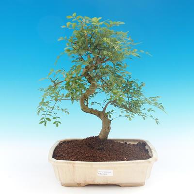 Room bonsai - Fraxinus uhdeii - room ash - 1