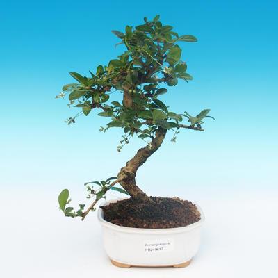 Room bonsai - Carmona macrophylla - Tea fuki - 1