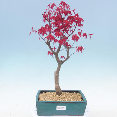 Outdoor bonsai - Maple palmatum DESHOJO - Maple palm - 1