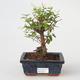 Room bonsai - Sagetie thea - Sagetie thea - 1/4