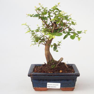Room bonsai - Sagetie thea - Sagetie thea - 1