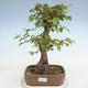 Outdoor bonsai -Carpinus CARPINOIDES - Korean Hornbeam - 1/5