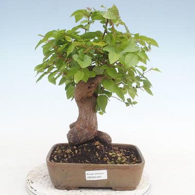 Outdoor bonsai -Carpinus CARPINOIDES - Korean Hornbeam - 1
