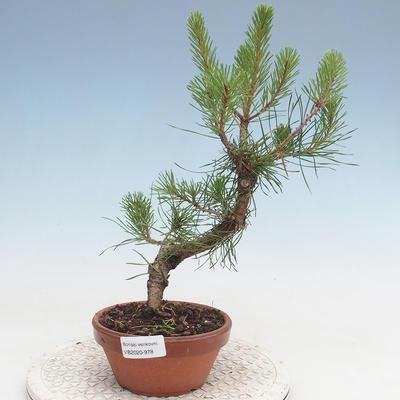 Outdoor bonsai - Pinus Sylvestris - Scots pine - 1
