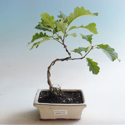 Outdoor bonsai-Quercus robur-Summer oak - 1