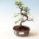 Outdoor bonsai - Acer palm. Atropurpureum-Red palm leaf - 1/3