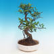 Indoor bonsai - Ficus retusa - small ficus - 1/2