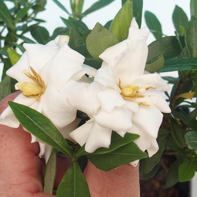 Room bonsai - Gardenia jasminoides-Gardenie - 1