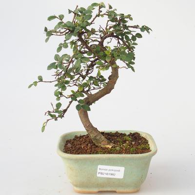 Room bonsai - Ulmus parvifolia - Lesser Elm - 1