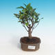 Room bonsai - Ficus retusa - small ficus - 1/2