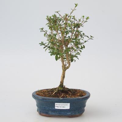 Room Bonsai - Serissa foetida Variegata - Tree of the Thousand Stars - 1