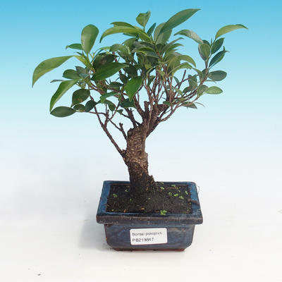 Room bonsai - Ficus retusa - small ficus - 1