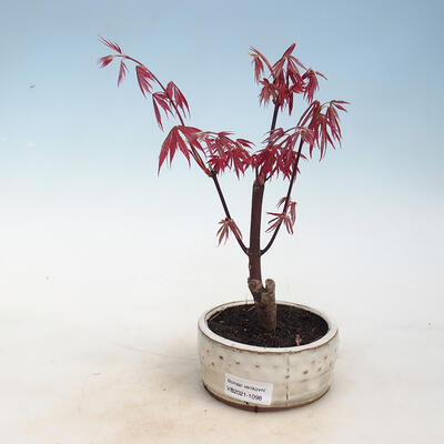 Outdoor bonsai - Acer palm. Atropurpureum-Maple