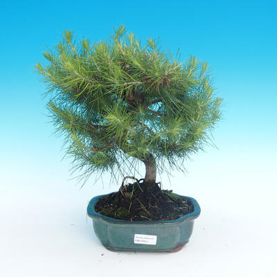 Indoor bonsai-Pinus halepensis