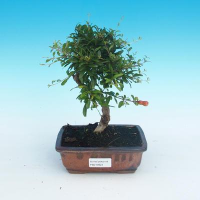 Room bonsai-PUNICA granatum nana-pomegranate - 1