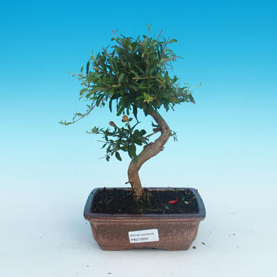 Room bonsai-PUNICA granatum nana-pomegranate - 1