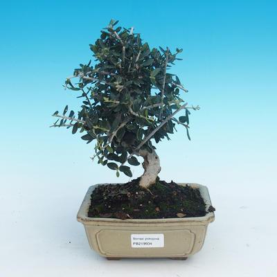Indoor bonsai - Olea europaea sylvestris -Oliva european tiny - 1