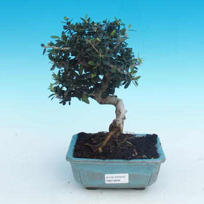 Indoor bonsai - Olea europaea sylvestris -Oliva european tiny - 1